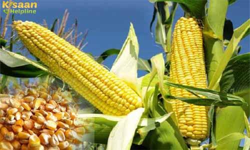 Maize (मक्का) Crops | Corn Crops | Makka Crops India